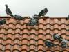 Comment faire fuir les pigeons de son balcon ou de son toit ?