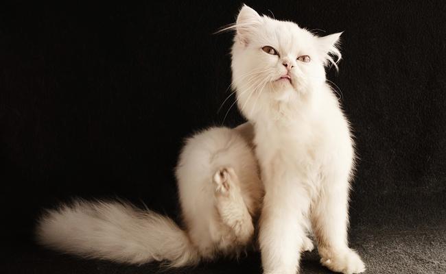 puces sur les chats