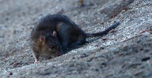 Comment se débarrasser des rats installés dans un débarras ?