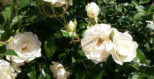L'essentiel à savoir pour planter des rosiers au jardin