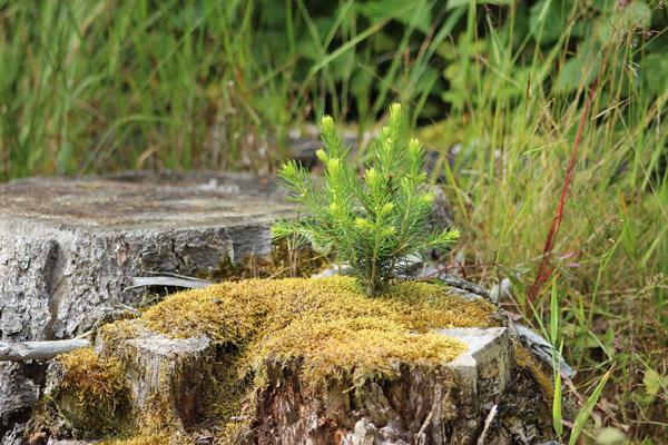 3 trucs pour d truire une souche sans produits chimiques - Souche d arbre decorative ...