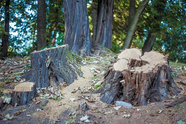 Souches d'arbres